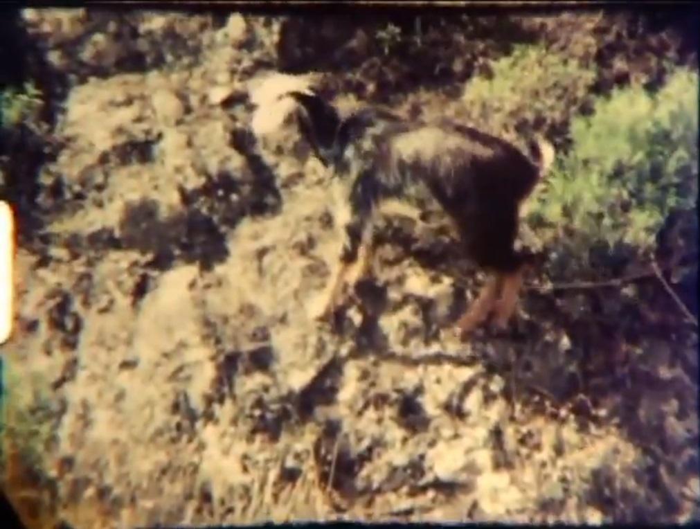 Cabra en un barranco - Los Barrancos afortunados